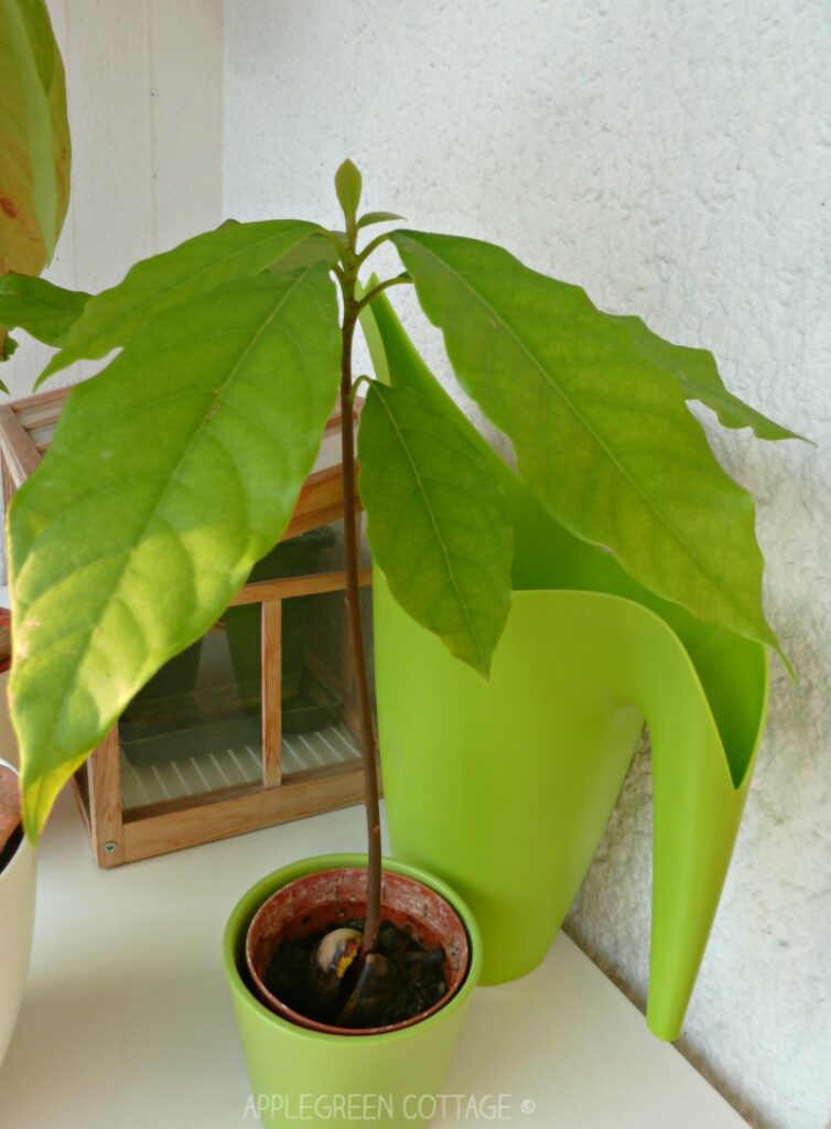 green home grown avocado tree from a pit in a pot