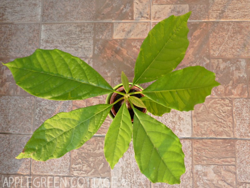 self grown avocado in a plant pot on brown floor tiles