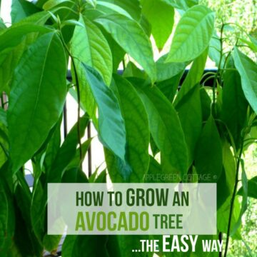 how to grow an avocado plant from a pit
