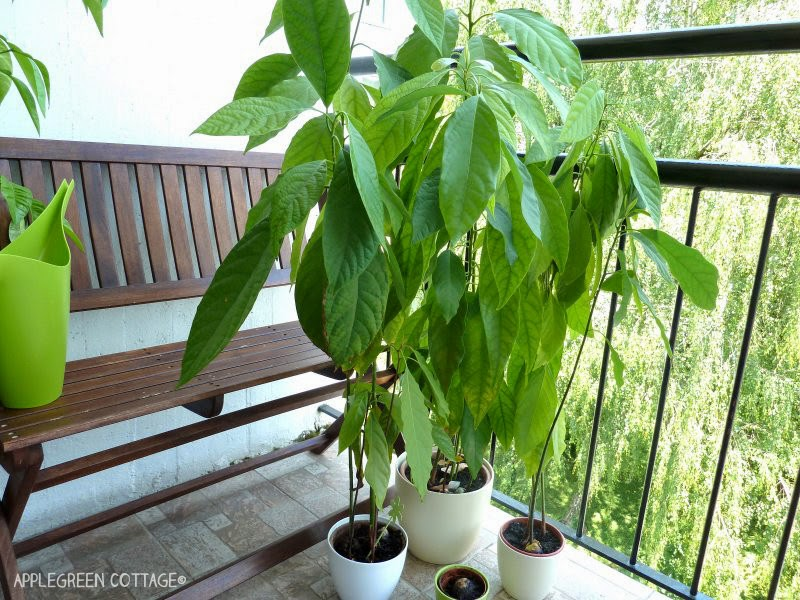 a group of homegrown avocado trees from a pit in pots with green backdrop