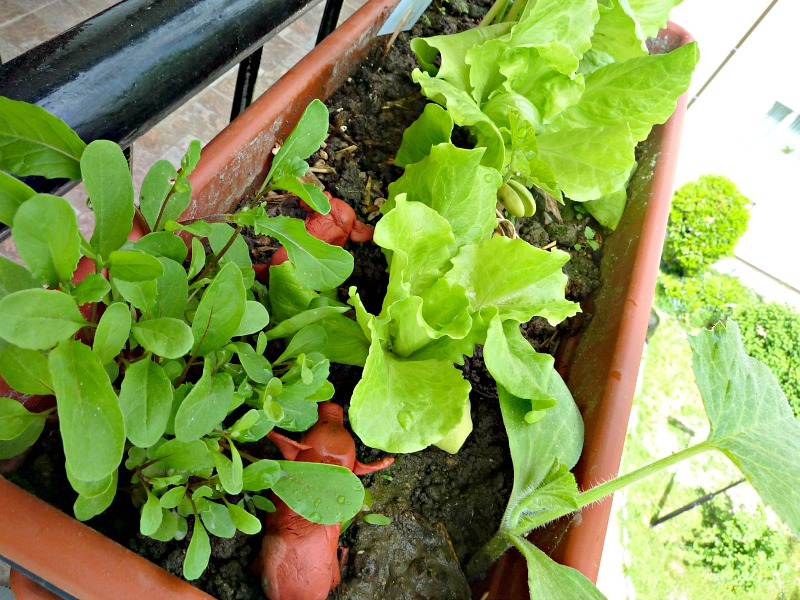 lettuce and other herb plants for gardening on balcony