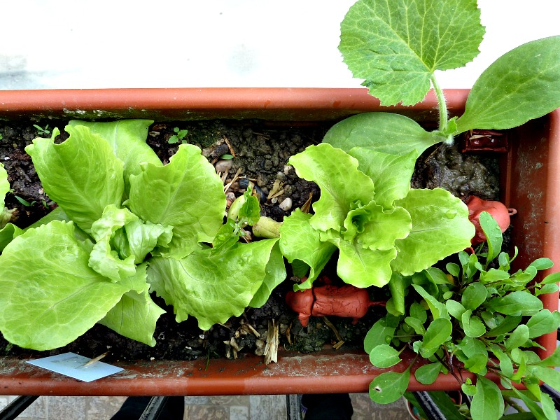 lettuce and herbs in a container gardening on balcony