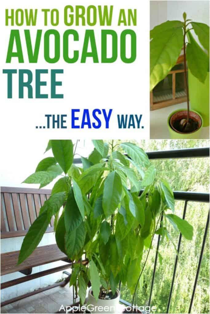 growing avocado plant