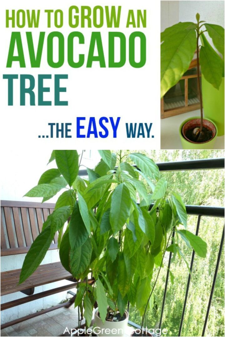 How to Grow an Avocado Tree - The Easy Way