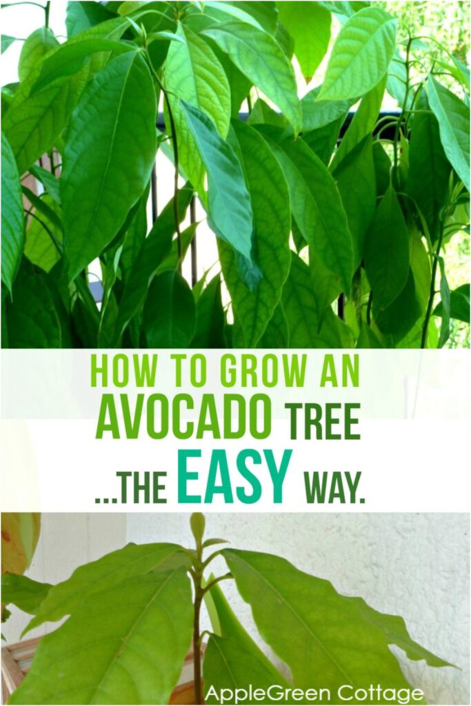 how to grow an avocado plant from seeds